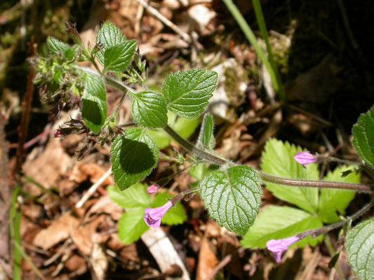 Clinopodium menthifolium - Bergsteentijm