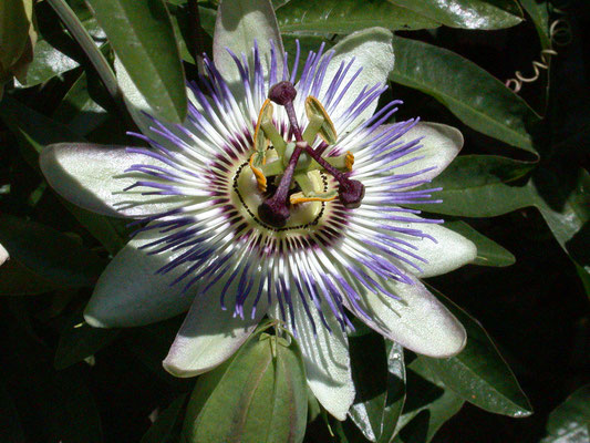Passiflora species