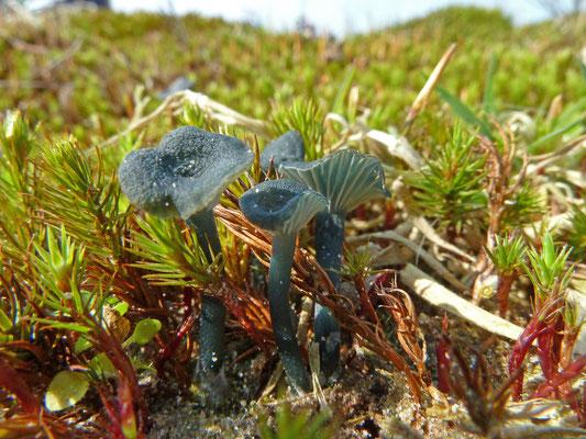 Omphalina chlorocyanea - Blauwgroen trechtertje