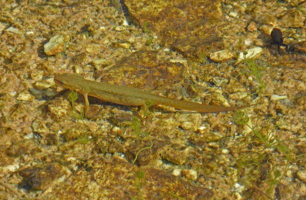 Lissotriton vulgaris graecus - Griekse kleine watersalamander