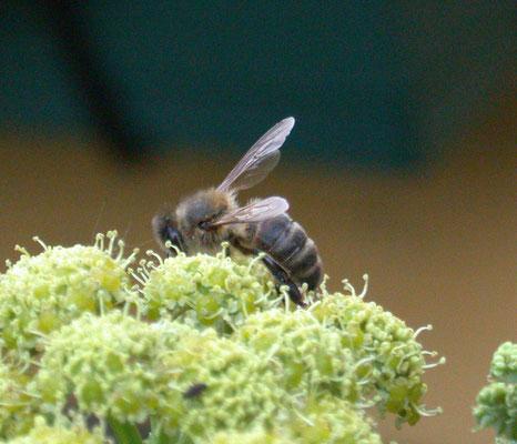 Apis mellifera - Honingbij