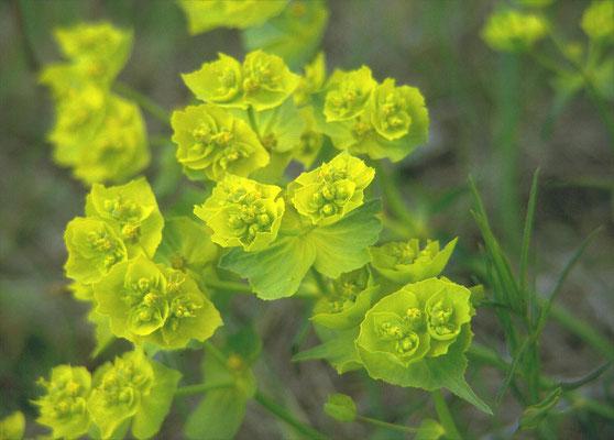 Euphorbia valliniana