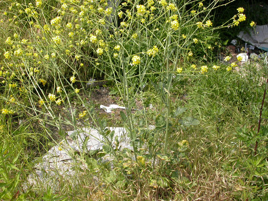 Brassica nigra - Zwarte mosterd