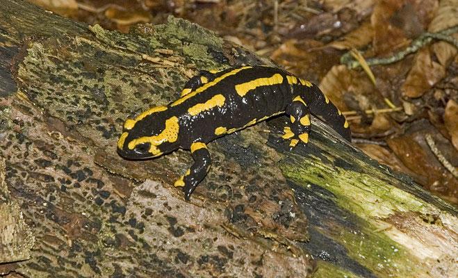 Salamandra salamandra terrestris