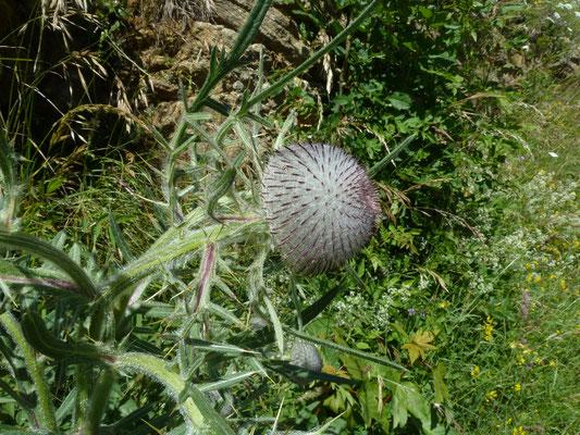 Cirsium eriophorum - Wollige distel