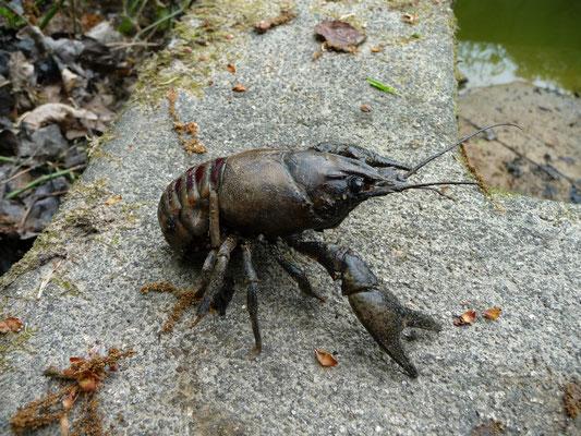 Orconectes limosus - Gevlekte Amerikaanse rivierkreeft