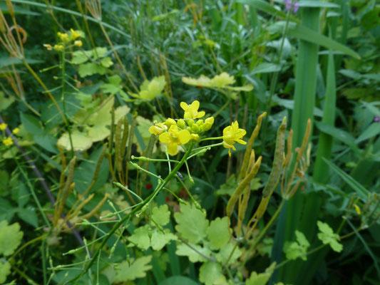 Rorippa amphibia - Gele waterkers