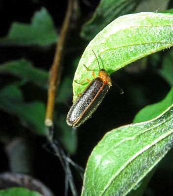 Grote glimworm (), man