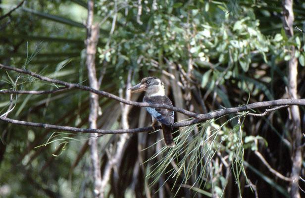 Blue-winged Cuckaburra