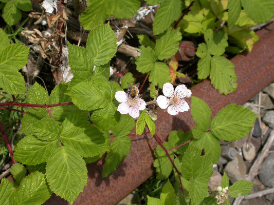 Rubus fruticosus - Gewone braam