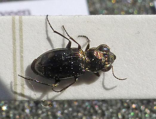 Notiophilus palustris