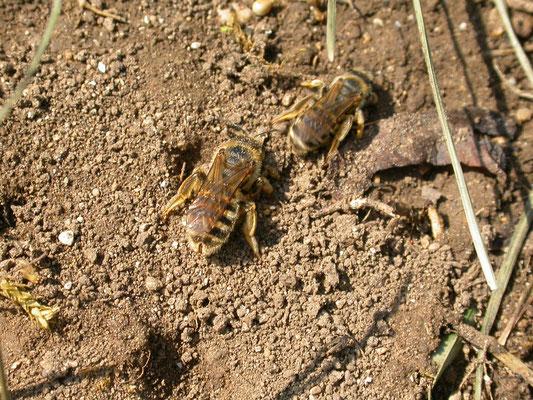 Halictus scabiosae - Breedbandgroefbij