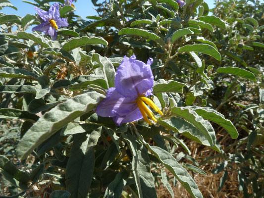Solanum sodomaeum