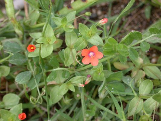 Anagallis arvensis arvensis - Rood guichelheil