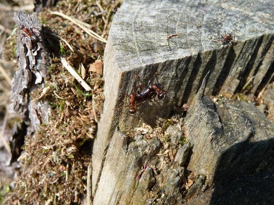 Formica rufa - Behaarde rode bosmier