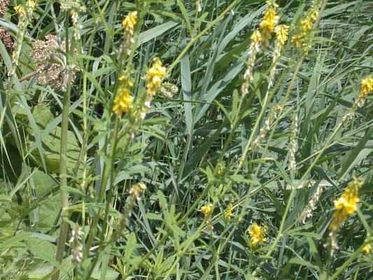 Melilotus altissima - Gele honingklaver