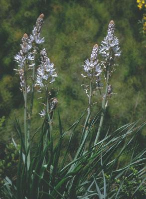 Asphodelus albus - Witte Affodil