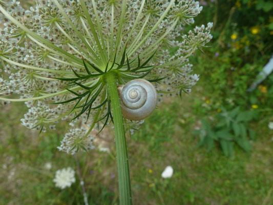 Monacha cartusiana - Kleine karthuizerslak