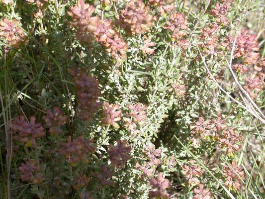 Thymus vulgaris - Echte tijm