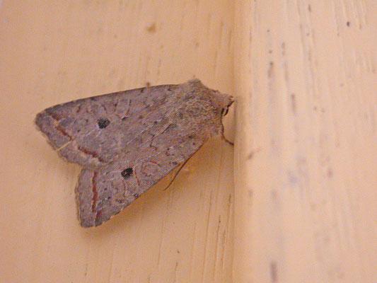Agrochola lota - Zwartstipvlinder