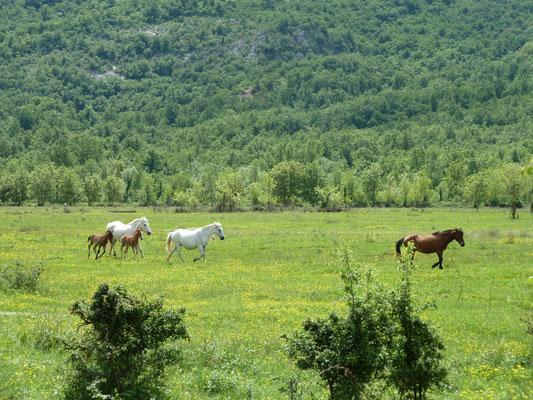 vrijlopende paarden