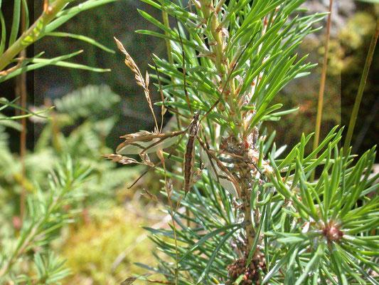 Tipula species (Solden, Oostenrijk)
