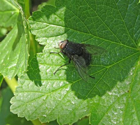 Calliphora spec - Bromvlieg onbekend