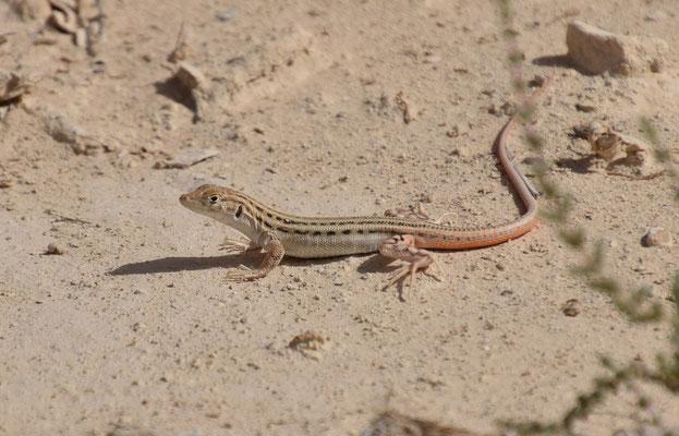 Acanthodactylus opheodurus