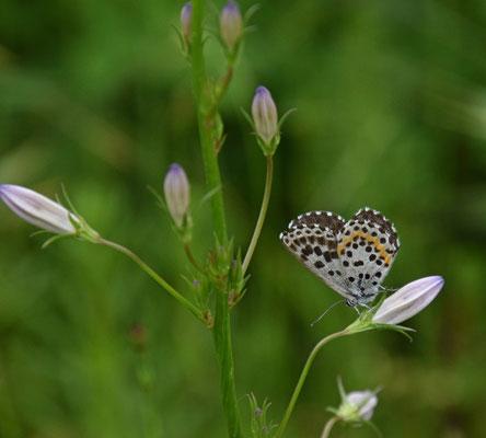 Vetkruidblauwtje (Scolitantides orion)