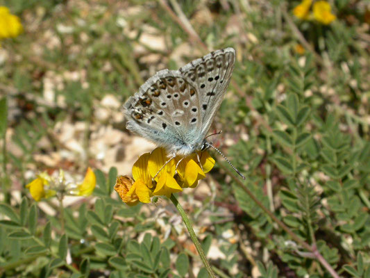 Provencaals bleek blauwtje (Lysandra hispana)