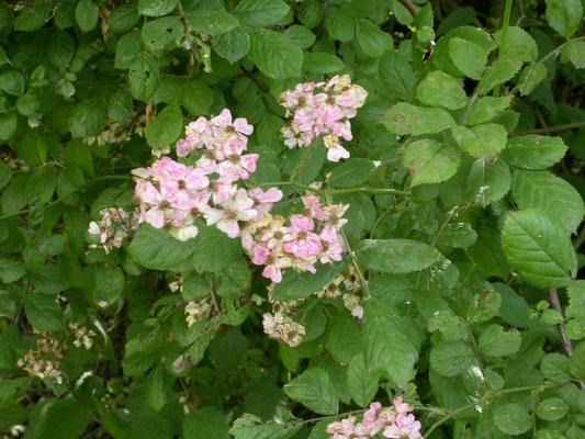 Rosa canina - Hondsroos