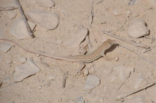 Bosk's franjeteenhagedis (Acanthodactylus boskianus)