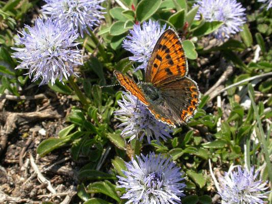 bruine vuurvlinder (Lycaena tityrus), vrouw