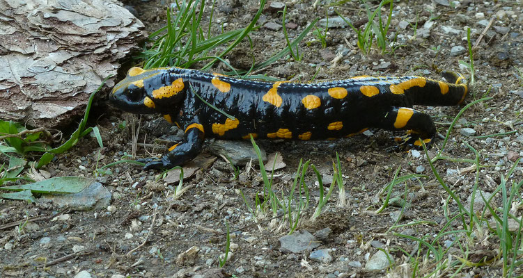 Salamandra salamandra  salamandra - Vuursalamander