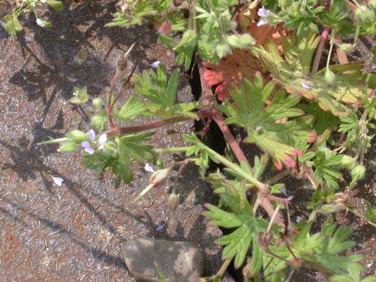 Geranium pusillum - Kleine ooievaarsbek