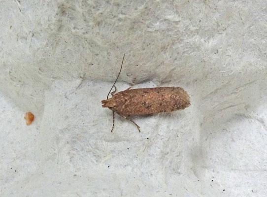 Bryotropha terrella - Oranje mospalpmot