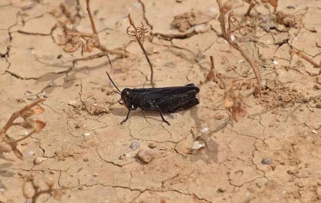 zwarte sprinkhaan