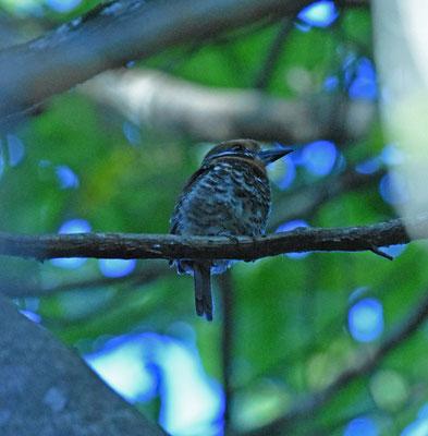 Spotted Puffbird