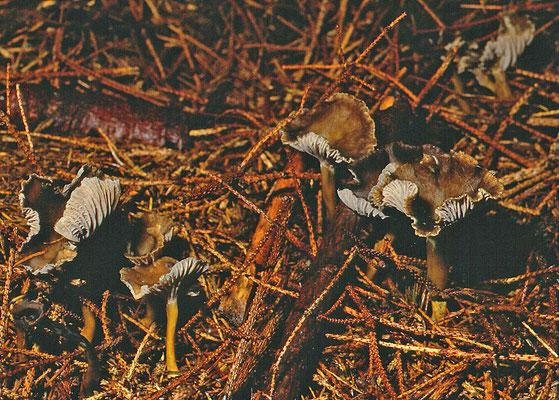 Cantharellus tubaeformis - Trechtercantharel