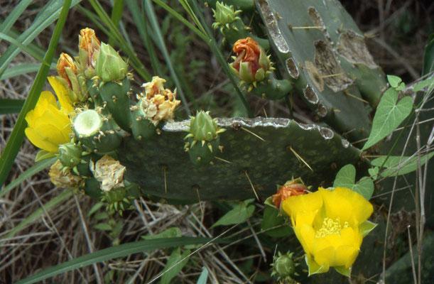 Schijfcactus