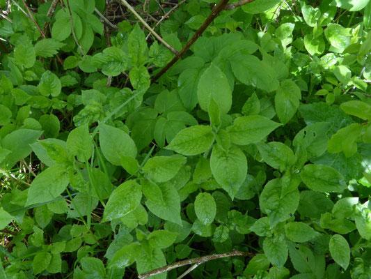 Bosmuur (Stellaria nemorum)