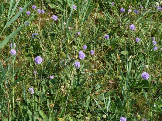 Succisia pratensis - Blauwe knoop