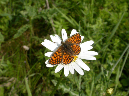 westelijke parelmoervlinder (Mellicta parthenoides)