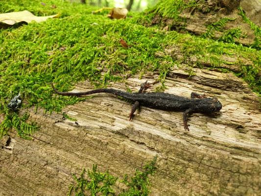 Noordelijke brilsalamander (Salamandrina perspicillata), foto Marcel