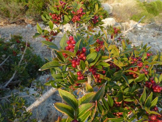 Pistacia lentiscus - Mastiekboom