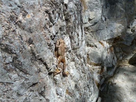 Rana balcanica