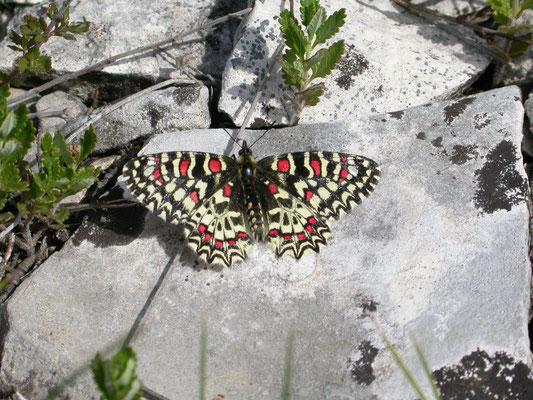 Spaanse pijpbloemvlinder (Zerynthia rumia)