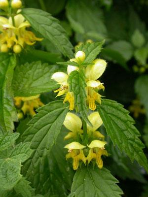 kleine gele dovenetel (Lamiastrum galeobdolon subsp. galeobdolon)