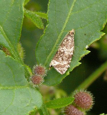 Celypha lacunana - Brandnetelbladroller