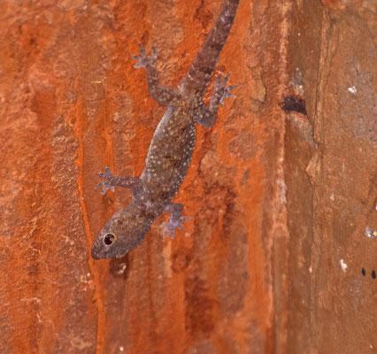 Hemidactylus turcicus - Europese tjitjak